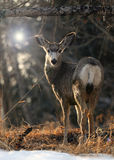 Solitary Mule Deer Standing Stock Photography