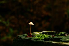 Free Solitary Mushroom Stock Image - 34309981