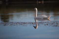 Solitary Mute Swan in Pond. A solitary mute swan swimming in a pond Royalty Free Stock Images