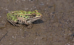Solitary Northern Leopard Frog Royalty Free Stock Photography