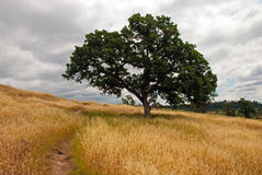 Solitary Oak Stock Photography