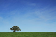 Solitary oak Royalty Free Stock Images