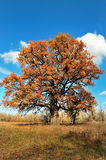 Solitary oak Stock Images