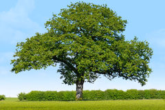 Solitary Oak Royalty Free Stock Photography