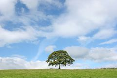 Solitary Oak In Summer Royalty Free Stock Photography