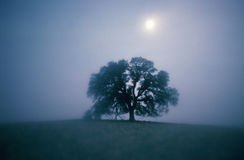 Solitary Oak Tree in fog Stock Photo