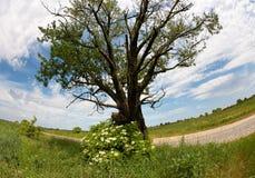 Solitary oak tree by road Stock Photo