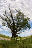 Solitary oak tree by road Royalty Free Stock Photos