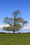 Solitary oak tree at springtime in field. Stock Photography