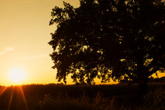 Solitary Oak Tree Stock Photos