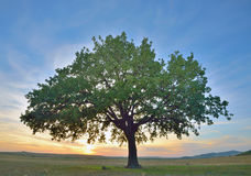 Solitary oak tree. At  sunset Stock Images