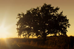 Solitary Oak Tree at Sunset Stock Images