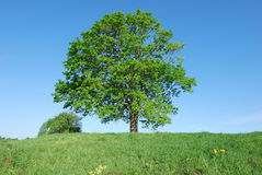 Solitary old maple. Lonely old maple on green meadow against  blue sky background Royalty Free Stock Images