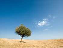 Solitary olive tree stock images