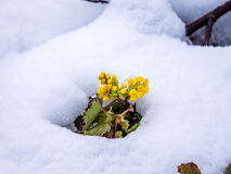 Solitary Oregon-Grape Plant in Snow Stock Images