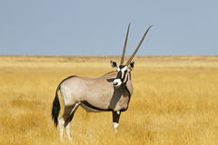 Solitary Oryx Royalty Free Stock Images