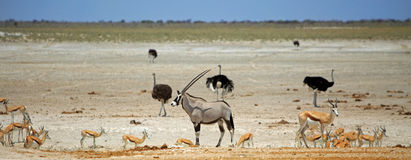 A solitary Oryx surrounded by various game at a vibrant waterhole in Etosha National Park Stock Photos