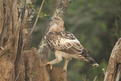 The Picture Target ,Crested Hawk Eagle,long upright crest,seldom soars,wings flat. stock photos
