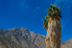 Solitary palm tree in desert Royalty Free Stock Photography