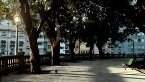 Solitary Pigeon In The Park. Solitary Pigeon in a park in Buenos Aires City, in Argentina stock footage