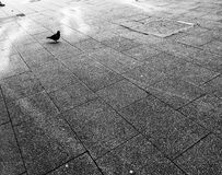 Solitary pigeon on pavement Stock Photography