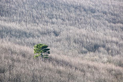 Solitary pine Royalty Free Stock Image