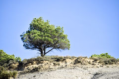 Solitary pine tree. Lonely pine tree, blue sky Royalty Free Stock Images