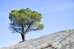 Solitary pine tree. Lonely pine tree, blue sky Royalty Free Stock Image