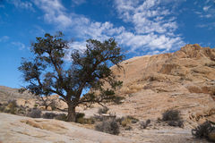 Solitary pine tree. In mountains in Red Rock Canyon, Las Vegas, Nevada Royalty Free Stock Images