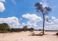 Solitary pine tree in the sand Stock Photography