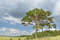 Solitary pine tree stands alone against blue sky with forest. In the background Stock Images