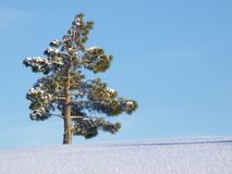 Solitary pinetree in winter Royalty Free Stock Image