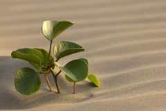Solitary plant in desert. A solitary fresh sprout thriving on a sand dune stock images