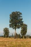 Solitary podocarpus trees Royalty Free Stock Photography
