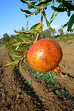 Solitary Pomegranate on branch Stock Images