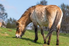 A solitary Przewalski\'s horse grazes on a gentle slope under blu Royalty Free Stock Photography
