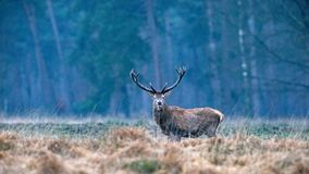 Solitary red deer cervus elaphus stag in high yellow grass loo royalty free stock image