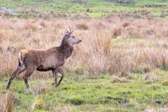 A solitary red deer seen in a Scottish meadow in a clearing amon. Gst tall grasses stock photos