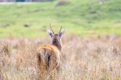 A solitary red deer seen in a Scottish meadow in a clearing amon. Gst tall grasses royalty free stock photo