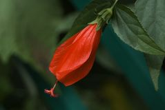 Solitary Red Hibiscus Bud. Its stamen is fully extended, but the petals have yet to open. Set against a dark green background Stock Photos