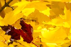 Solitary Red Leaf Embedded Among the Golden Maple Leaves of Autumn Royalty Free Stock Image
