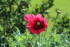 Solitary red poppy in field of green royalty free stock image