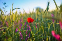 Solitary red poppy flower in the middle of a wheat grain field Stock Images