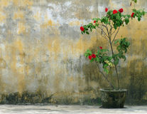 Solitary red rose bush in rustic pot against weathered, yellow wall. Stock Image