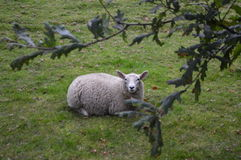 Solitary Resting Sheep. A sheep away from the herd Royalty Free Stock Image
