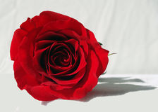 Solitary rose Royalty Free Stock Image