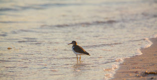Solitary Sandpiper at Cuban beach Stock Images