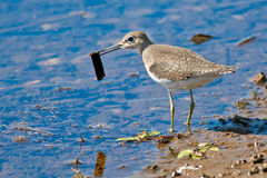 Solitary Sandpiper Stock Photography