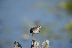 Solitary Sandpiper Royalty Free Stock Photos