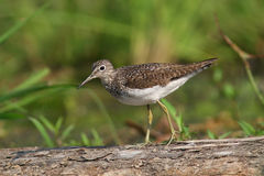 Solitary Sandpiper (Tringa solitaria). Walking on a log in Pinery Provincial Park, Ontario, Canada Stock Image